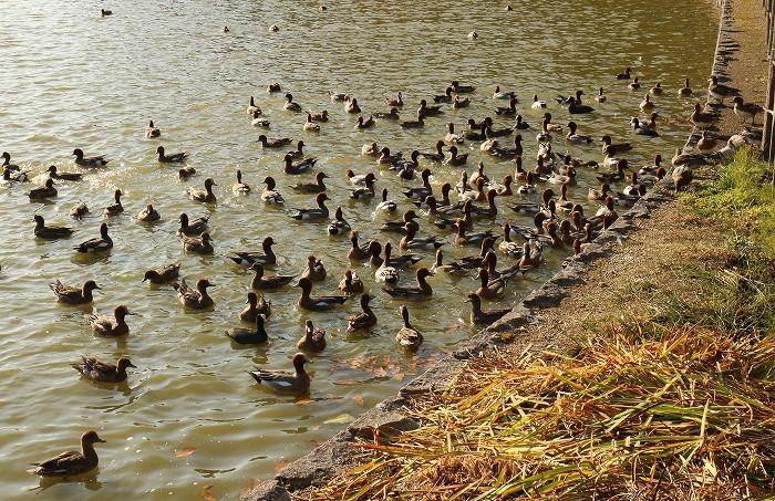 橿原神宮の池に鴨 1 12 5