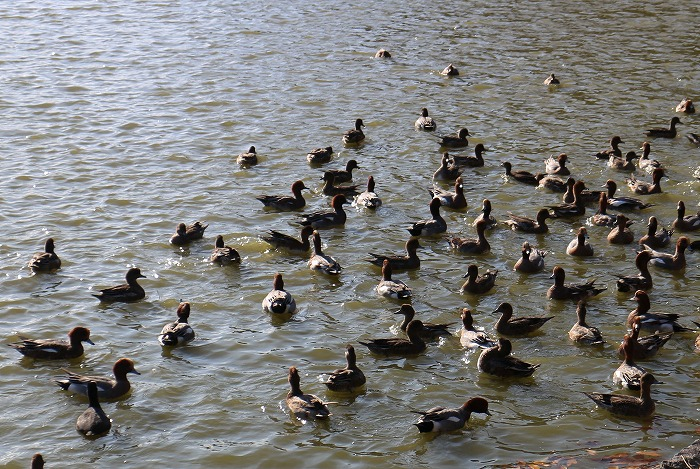 橿原神宮池に鴨 1 12 5