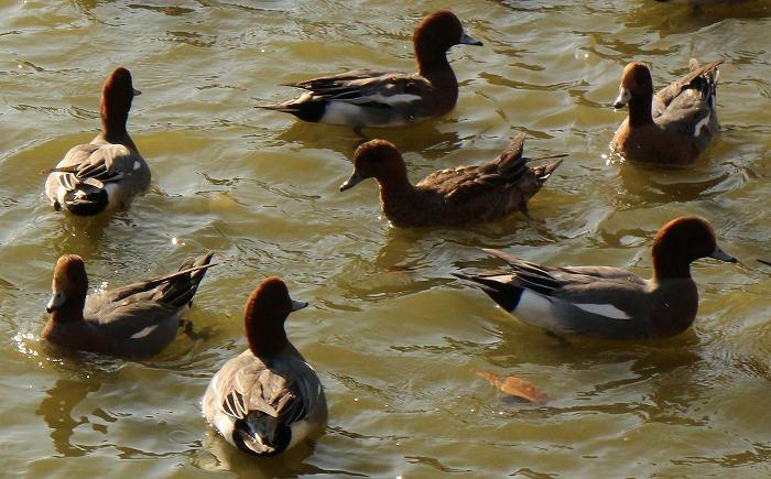 橿原神宮の中の池に鴨 1 12 5