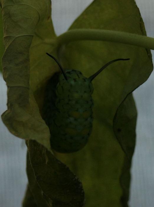もうすぐ蛹になりそうな幼虫です 1 12 9