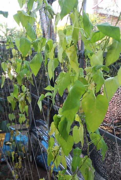 冬は枯れるガガイモ もう元気ないです 1 12 9