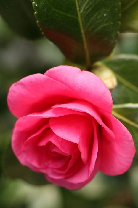 大見の庭の山茶花 1 12 12