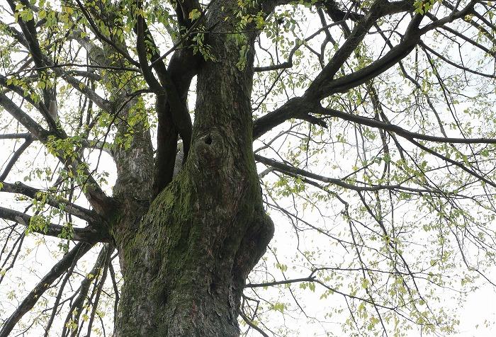 大きな木の途中切抜き 山本町河内 1 12 3