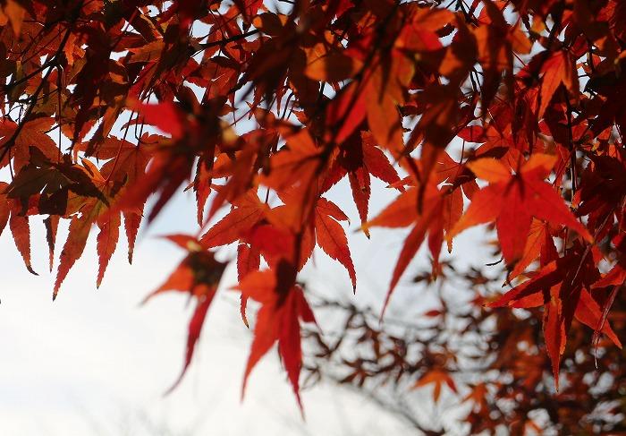 今も紅葉の楓 爺神山に 1 12 17