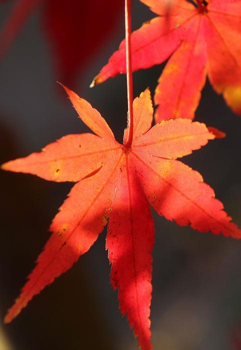 紅く紅葉楓 爺神山駐車場の東側 1 12 17