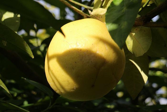 この蜜柑の名前はほんまはわかりません 1 12 19