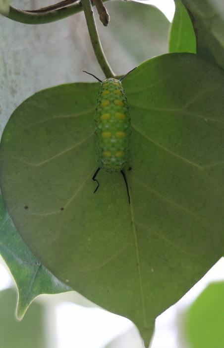 浅葱斑蛹になりかけの幼虫 縦に 1 12 18