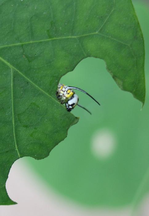 鬼女蘭の葉をモリモリ食べてる幼虫 1 12 18