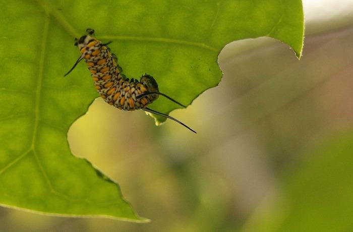 下から潜って撮りました 浅葱斑幼虫 1 12 18