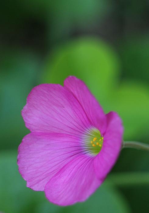花カタバミの花 仁尾 1 12 18