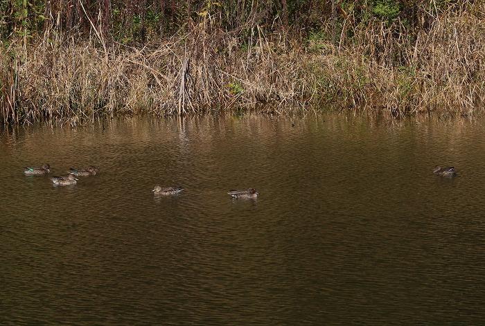 爺神山の鴨たち 1 12 18