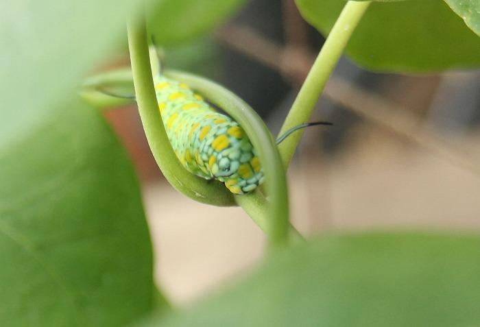 茎の間をくぐり抜けてる幼虫 1 12 23