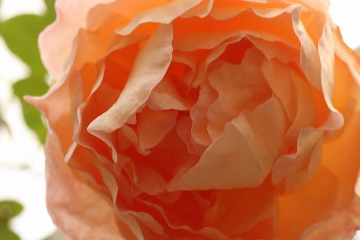 冬の薔薇 1 12 28