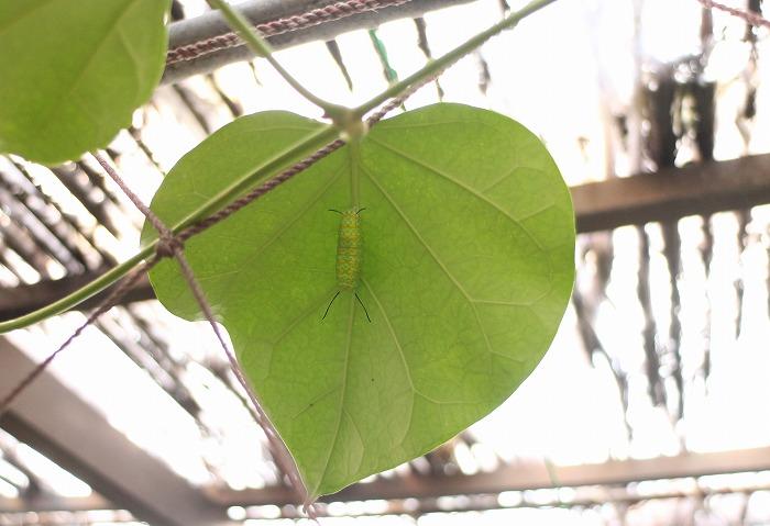 蛹になりかけの幼虫 仁尾ハウス中 1 12 31