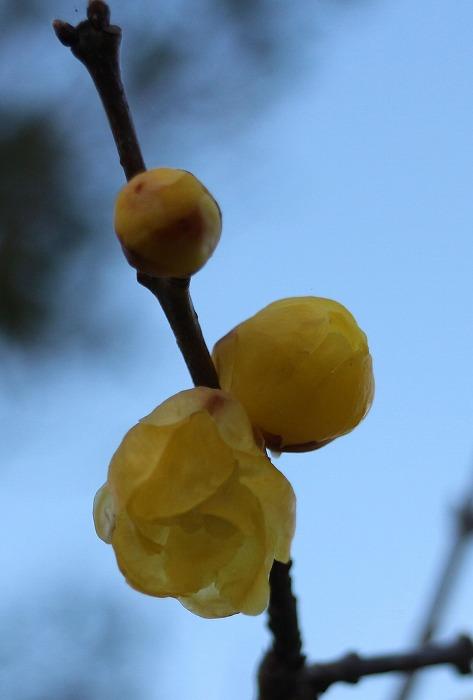 素心蝋梅のつぼみ 縦に 2 1 16