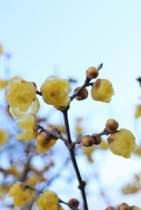 素心蝋梅 家の西に咲く 2 1 16