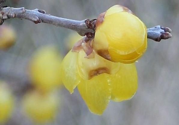 素心蝋梅花と蕾と 2 1 16