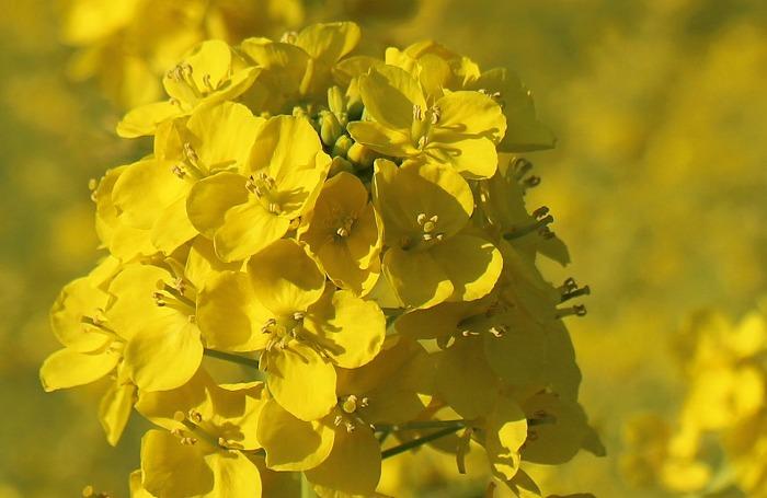 菜の花一面に咲く 2 1 21