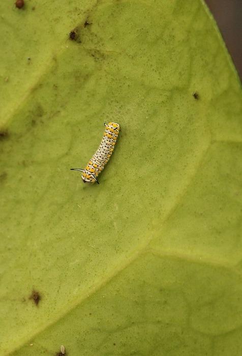 小さな、生まれたばかりの幼虫 2 1 22