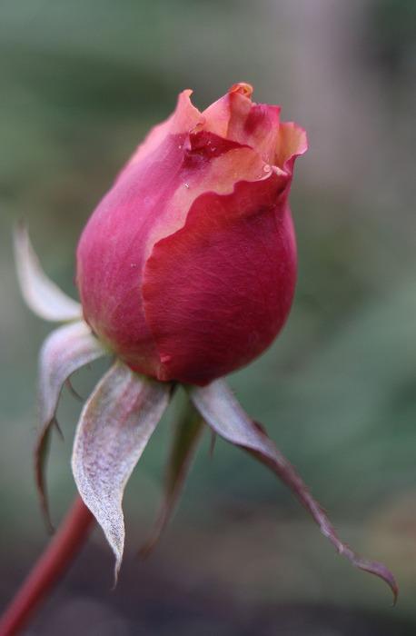 薔薇のつぼみ 2 1 14