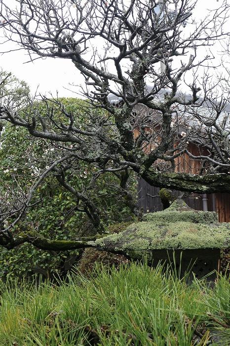 庭の梅の木 縦に 2 1 28