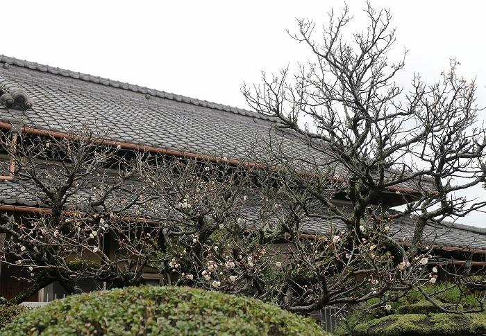 庭の梅の木 横に 2 1 28