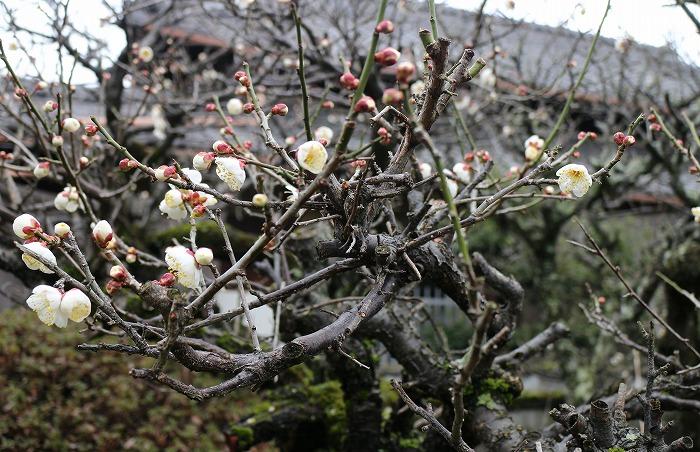 庭の白梅咲き始めてた 2 1 28