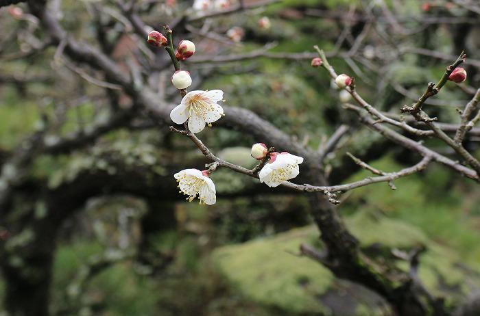 パラパラと咲いてる白梅 庭 横に 2 1 28