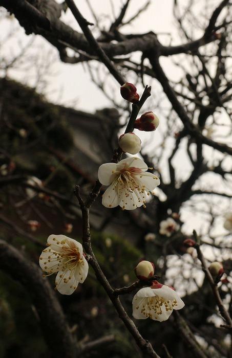 前庭の白梅ポロポロ咲いてる 縦に 2 1 28