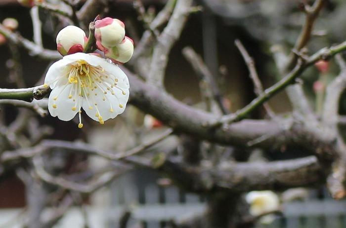 白梅花とつぼみ3個 横に 2 1 28