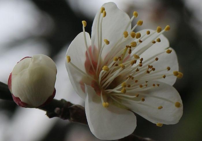 花一輪アップ 白梅 前庭 横に 2 1 28