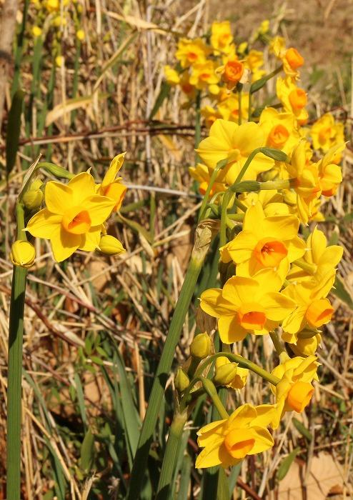 黄色い水仙がいっぱい 2 1 30