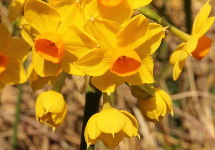 色鮮やかな黄色い水仙です 2 1 30