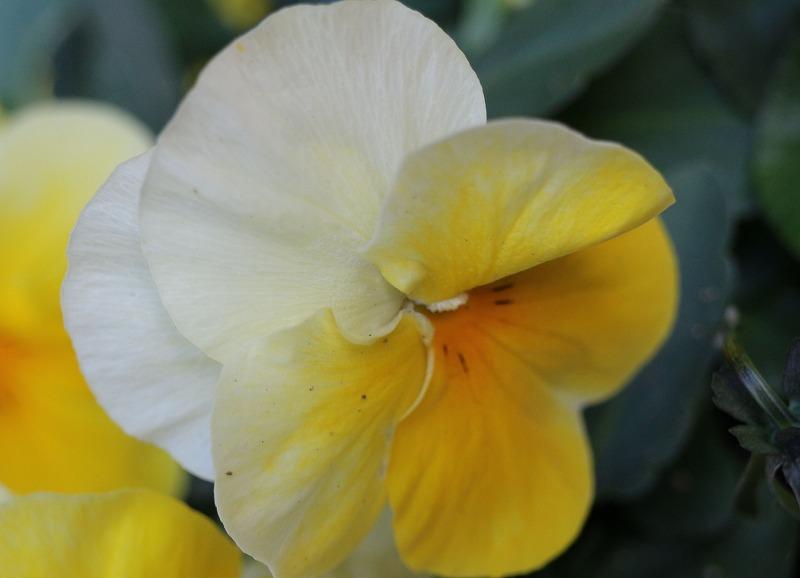 病床短信の花 パンジー 2 2 7