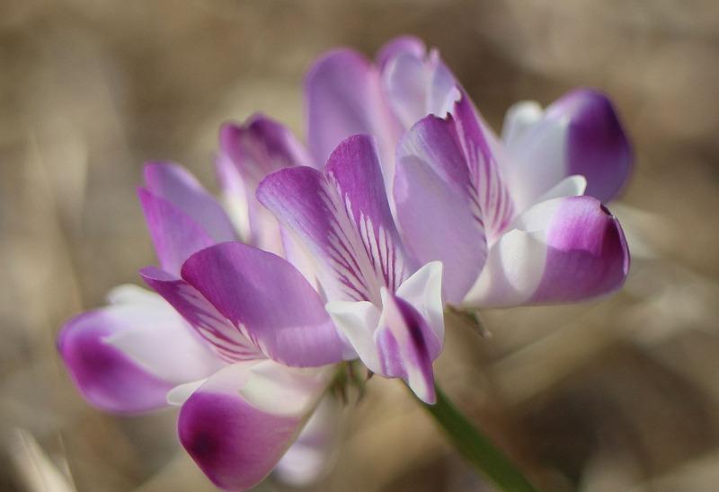 レンゲソウの花咲いてる 横に 2 2 11