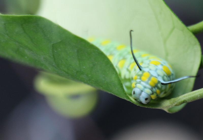 アサギマダラ幼虫 2 2 1