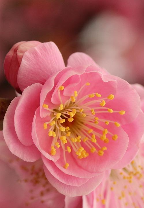 枝垂れ梅蕾と花と 縦 2 2 18