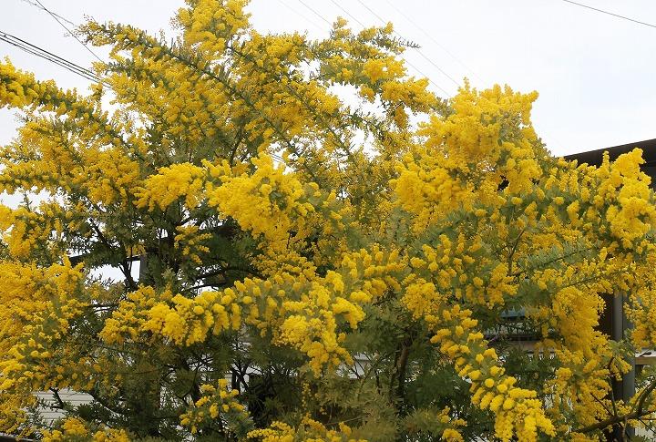 ミモザの花 満開 下高瀬 2 2 18