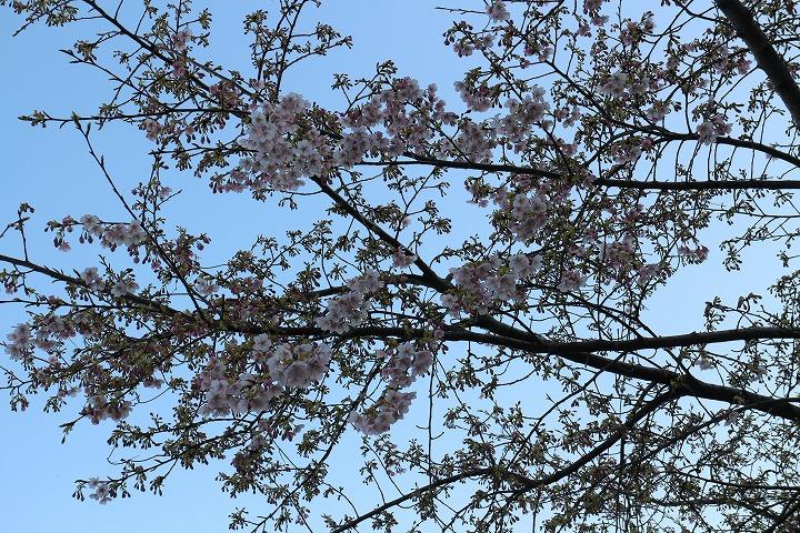 爺神山の河津桜 3部咲き位 2 2 19