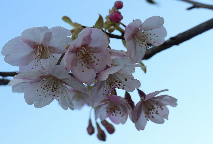 河津桜アップで撮る 爺神山で 2 2 19