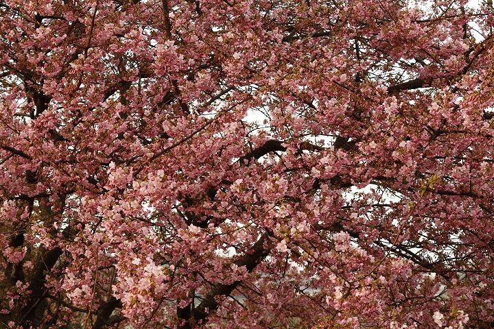 河津桜の中のメジロは撮れない 2 2 22