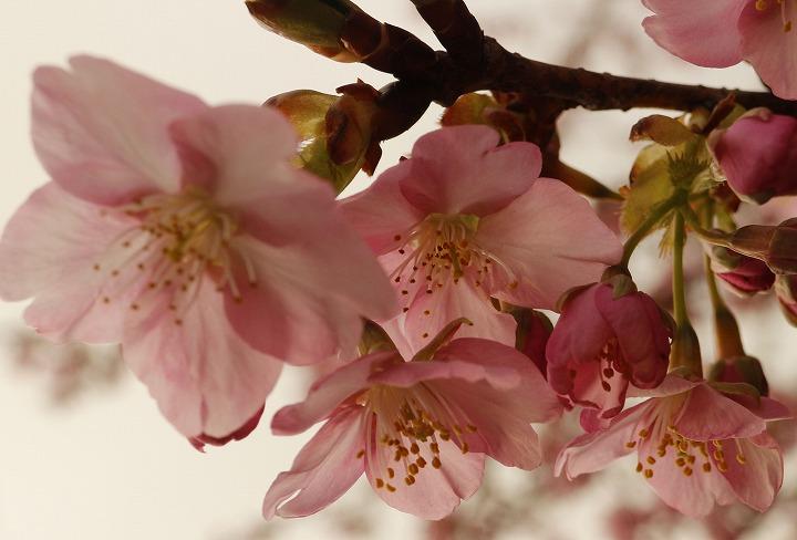 河津桜 5部咲き 2 2 22
