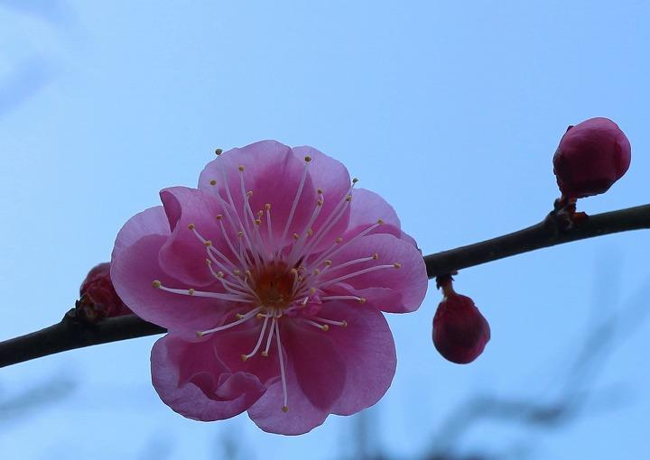 爺神山 河津桜の後ろ側に紅梅の樹 2 2 19