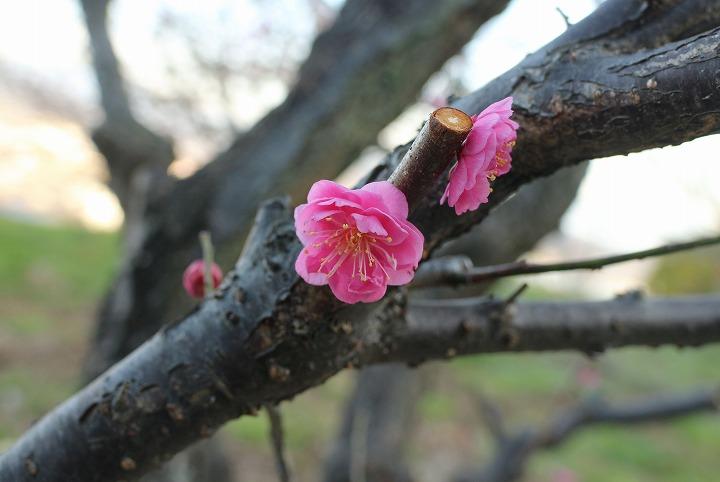 今年植えられた紅梅の樹 2 2 19