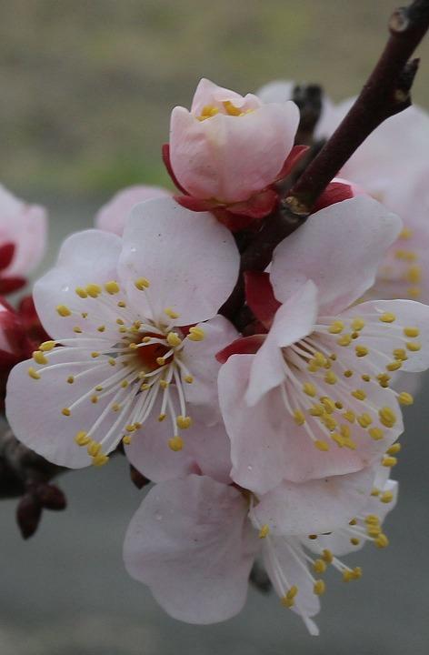 紅梅の花 確かな春 2 2 18
