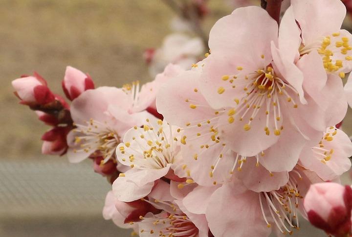 西浜の紅梅の花 実のなる梅 2 2 18