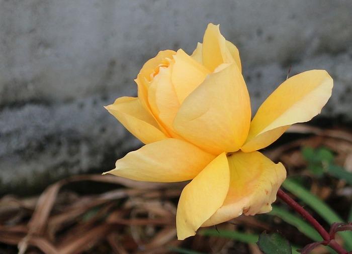 黄色い薔薇 前中耳病院花壇 2 2 22