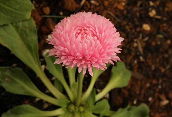 デージー イタリアの国花 2 1 14