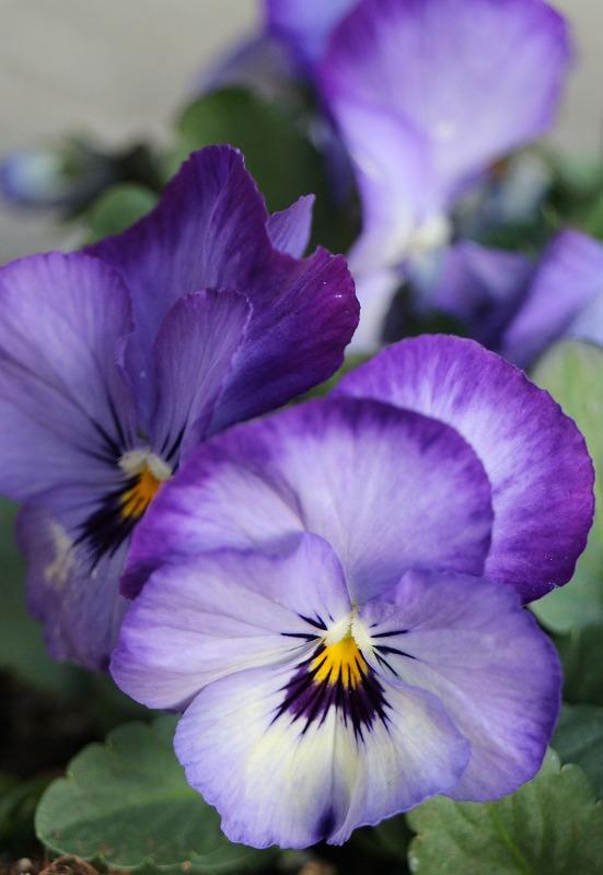パンジー 紫 2輪  2 2 4