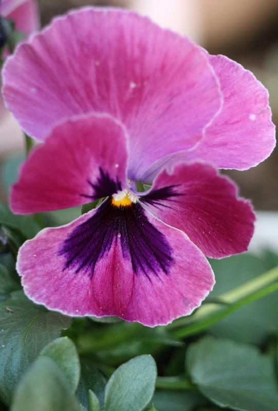 パンジー 赤紫 2 2 4